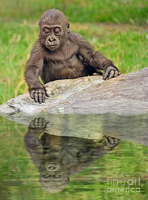 Photograph - A Curious Baby Gorilla II by Jim Fitzpatrick