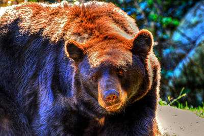 Photograph - A Curious Black Bear by Don Mercer