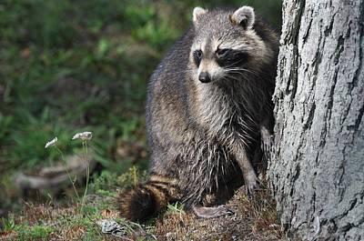Photograph - A Curious Raccoon by Lisa DiFruscio