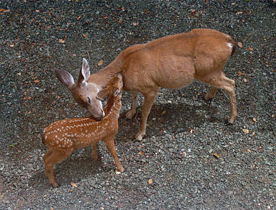 Photograph - A-d0015 Doe And Fawn On Sonoma Mountain by Ed Cooper Photography