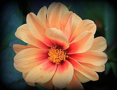 Photograph - A Dahlia In Winter by Dora Sofia Caputo Photographic Design and Fine Art