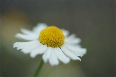 Photograph - A Daisy A Day by Jacqui Boonstra