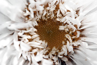 Photograph - A Daisy by Bransen Devey