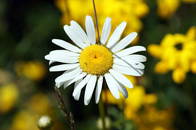 Photograph - A Daisy In The Sun by Ron Read