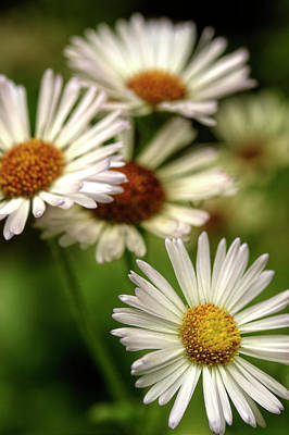 Photograph - A Daisy Kind Of Day by Mike Eingle