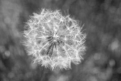 Photograph - A Dandelion Black And White by Terry DeLuco