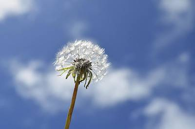 Photograph - A Dandelion Flower by Alex King