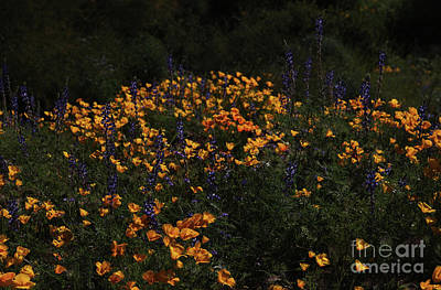 Photograph - A Day Among The Lupines And Poppies by Ruth Jolly