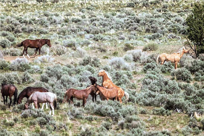 Photograph - A Day In The Lives Of South Steens Wild Horses, No. 1 by Belinda Greb