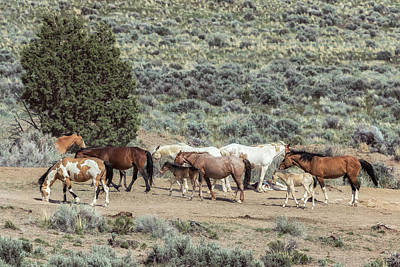 Photograph - A Day In The Lives Of South Steens Wild Horses, No. 4 by Belinda Greb