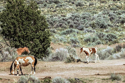 Photograph - A Day In The Lives Of South Steens Wild Horses, No. 5 by Belinda Greb