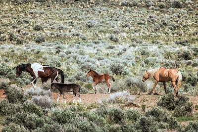 Photograph - A Day In The Lives Of South Steens Wild Horses, No. 7 by Belinda Greb