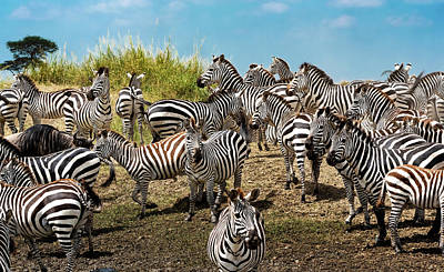 Photograph - A Dazzle Of Zebras by Pravine Chester