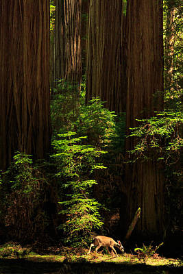 Photograph - A Deer In The Redwoods by James Eddy