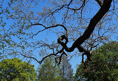 Photograph - A Deformed Canopy Black Gum by Paul Meinerth