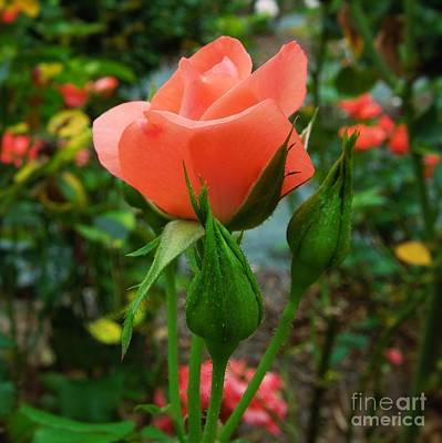 Photograph - A Delicate Pink Rose by Chad and Stacey Hall