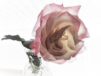 Photograph - A Delicate Rose by Michaline  Bak
