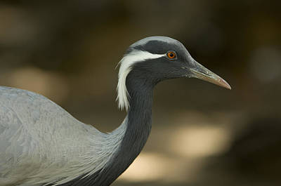 A Demoiselle Crane Anthropoides Virgo Art Print by Joel Sartore