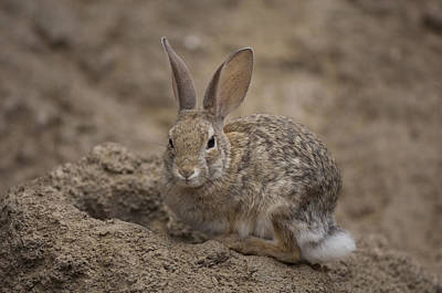 Desert Dome Photograph - A Desert Cottontail Rabbit At The Henry by Joel Sartore