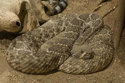 Desert Dome Photograph - A Diamondbacked Rattlesnake by Joel Sartore
