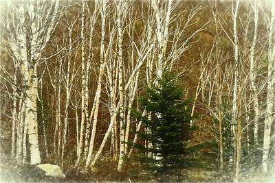 Photograph - A Digital Art Photograph  Of   A Stand Of White Birch Trees In N by Rusty R Smith