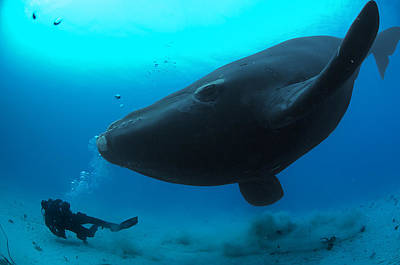 A Diver Has A Close Encounter Wih Print by Brian J. Skerry
