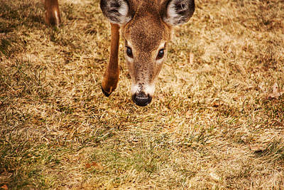 Photograph - A Doe Encounter by Karol Livote