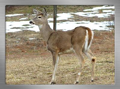 Photograph - A Doe In Early Spring by Will Borden