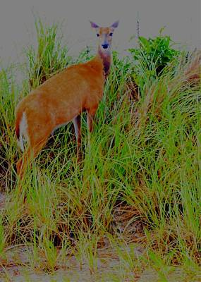 Digital Art - A Doe In The Dunes by Christopher Kirby