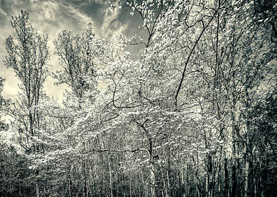 A Dogwood In The Springtime Woods Black And White Art Print by Mother Nature