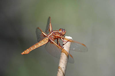 Photograph - A Dragon Fly  by Catherine Lau
