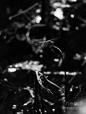 A Dragonfly In Black And White Art Print by Rachel Morrison