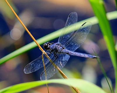 Dragonflys Photograph - A Dragonfly  by James Lafnear