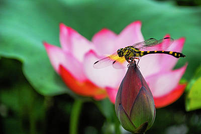 Photograph - A Dragonfly On Lotus Flower by Carl Ning