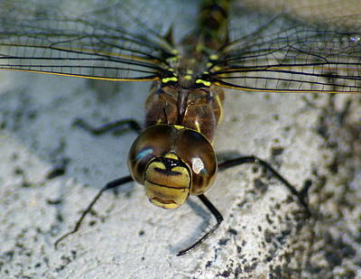 Photograph - A Dragonfly Smile by Ben Upham III