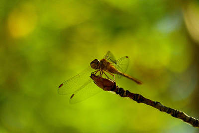 A Dragonfly Smile Art Print by Jeff Swan