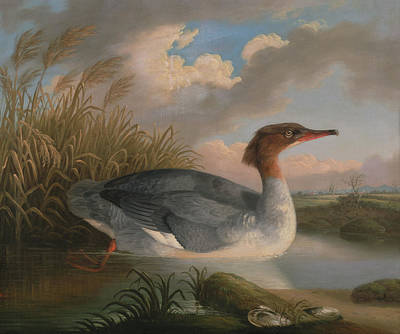 Geese Painting - A Dun Diver - Goosander by Robert Wilson Padley