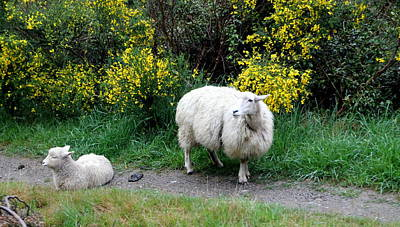 Photograph - A Ewe And Her Lamb by Laurel Talabere