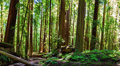 Photograph - A Family Of Redwoods Panorama by Dan Carmichael