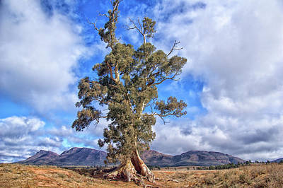 Photograph - A Famous Tree by Grant Petras