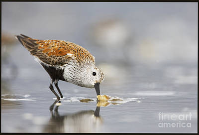 A Feeding Dunlin Art Print by Tim Grams