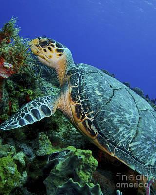 Animals Photos - A Feeding Hawksbill Sea Turtle by Brent Barnes