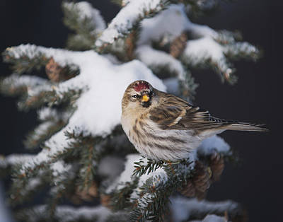 A Female Common Redpoll  Carduelis Art Print by Greg Martin