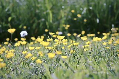 Photograph - A Field Of Buttercups by Kerri Farley
