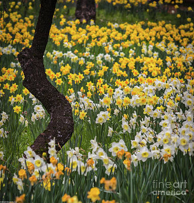 Photograph - A Field Of Daffodils by Mitch Shindelbower