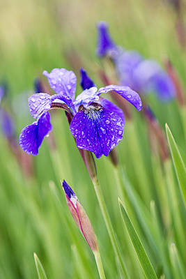 A Field Of Iris Art Print