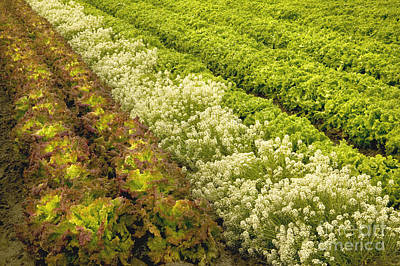 A Field Of Mixed Organic Lettuce Art Print by Inga Spence