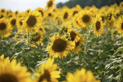 Photograph - A Field Of Sunflowers by Anthony Doudt