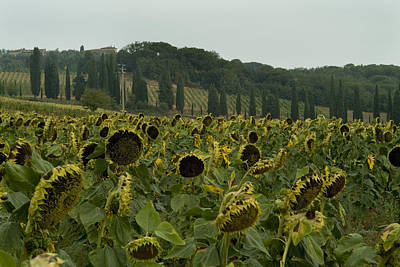 A Field Of Sunflowers Grows Print by Todd Gipstein