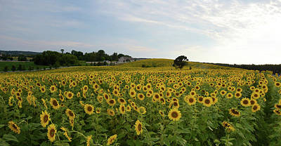 Photograph - A Field Of Sunflowers by Janice Adomeit